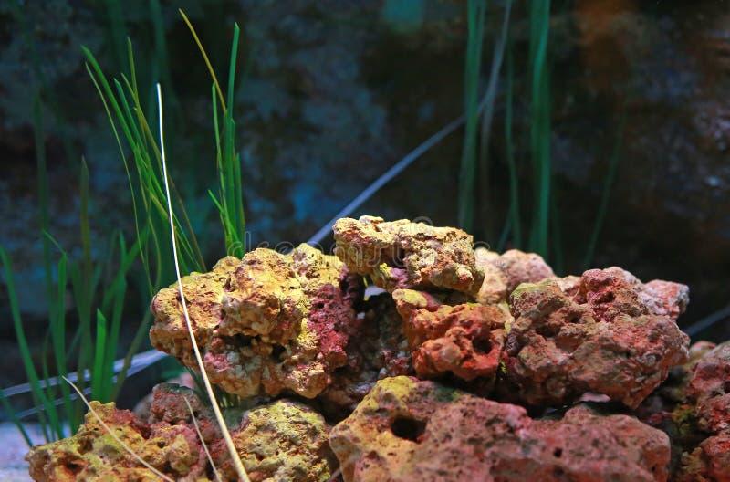 Koral w akwarium zbiorniku podwodnym zdjęcie stock