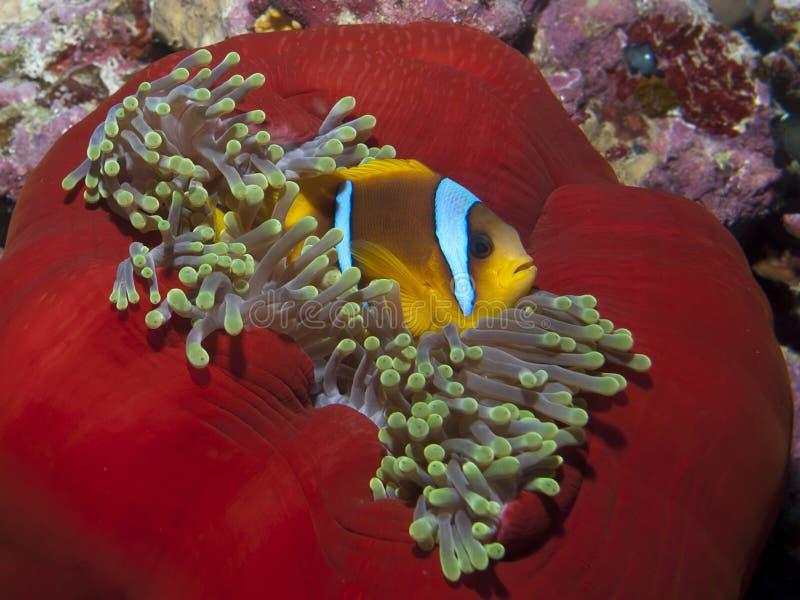 Czerwonego morza anemonefish zdjęcie royalty free