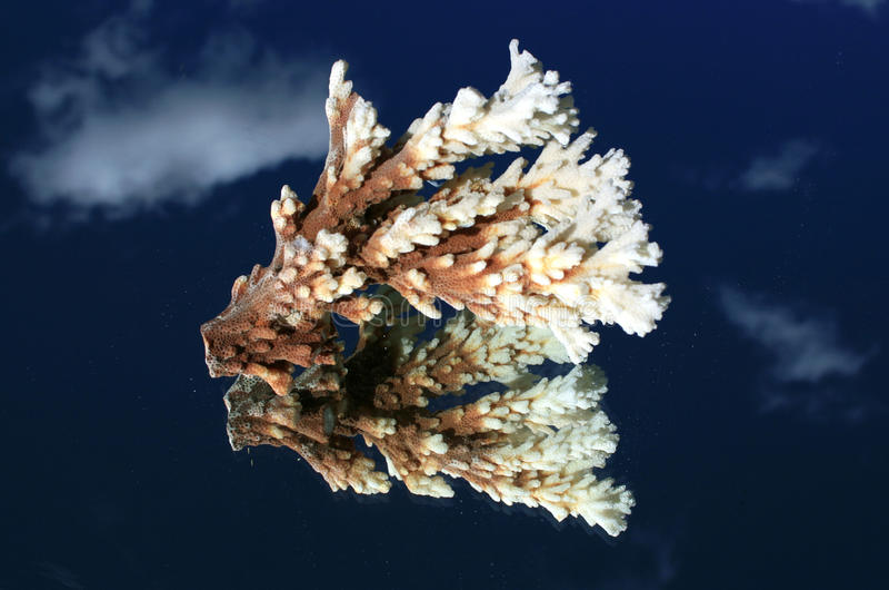 korala lustro zdjęcia royalty free