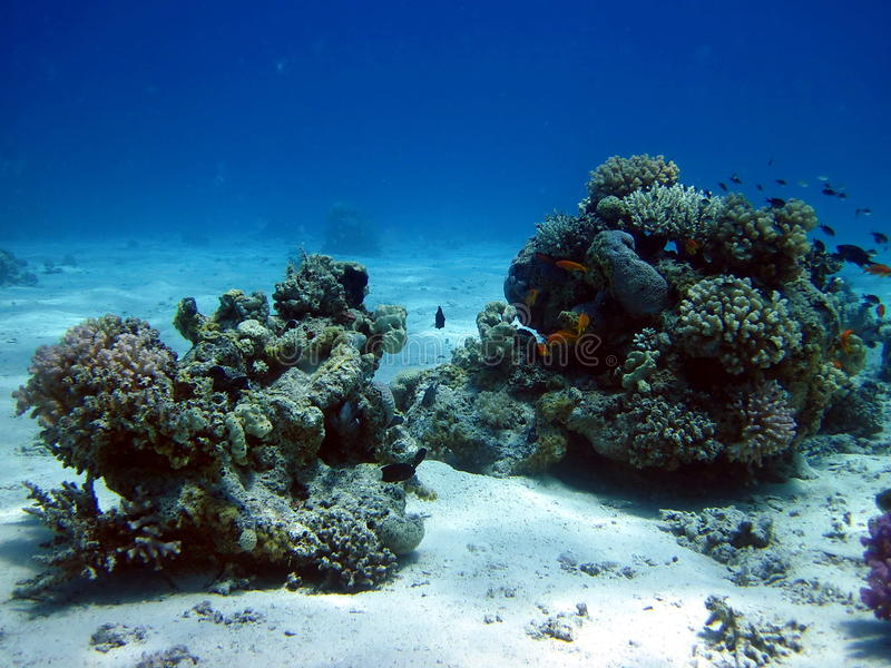 korala ryba rafa fotografia royalty free
