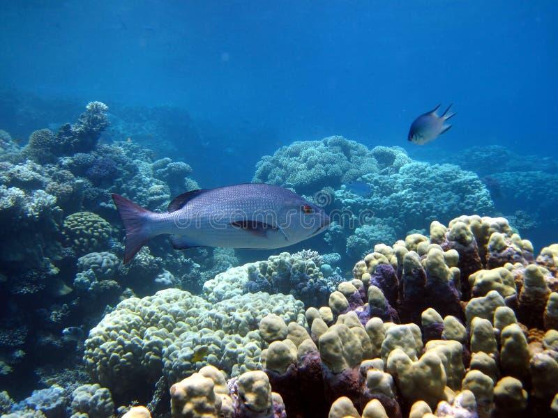 korala ryba rafa zdjęcie stock