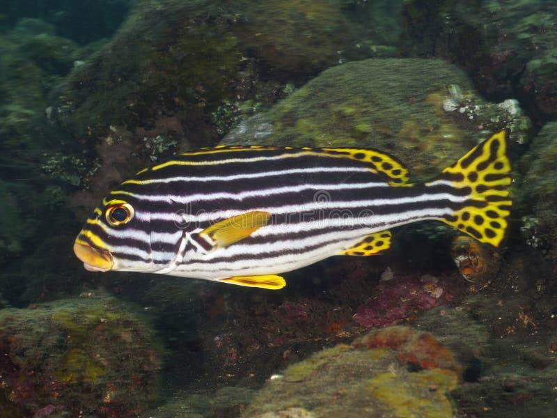 Korala rybi Orientalny sweetlip obrazy stock