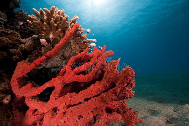 korala rybiego oceanu czerwony morze brać zdjęcie stock