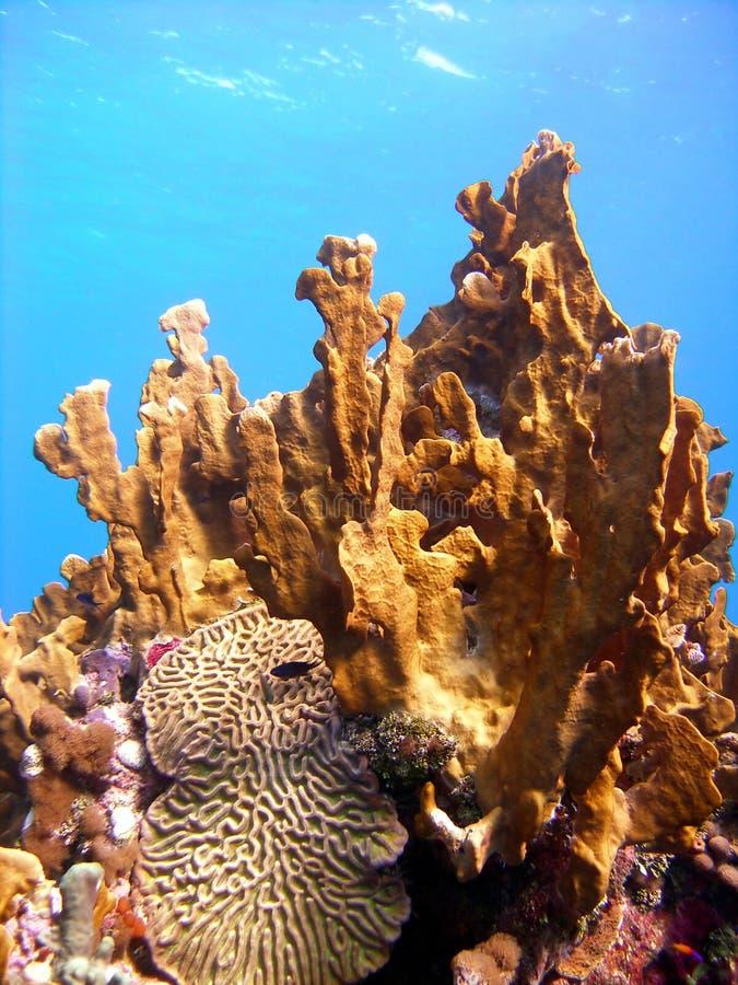 korala zdrowy pożarniczy obrazy royalty free