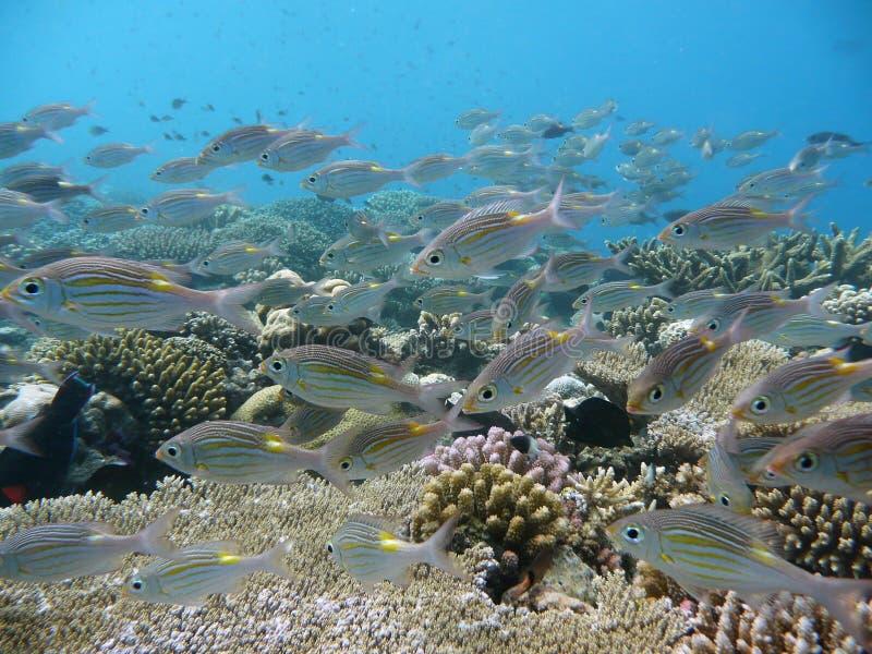 korale łowią tropikalnego fotografia royalty free