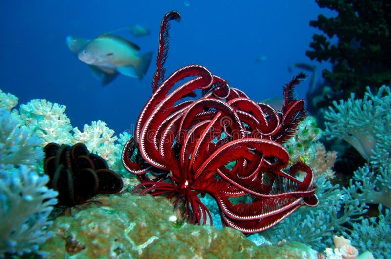 korale zdjęcie royalty free