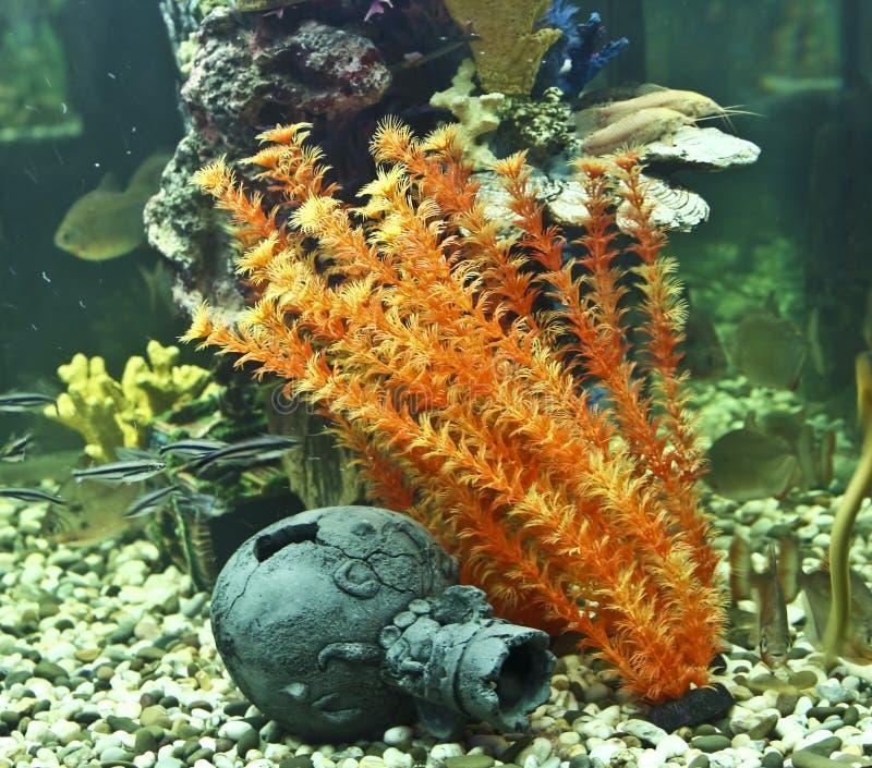 koralen algen en kruik aquarium stock afbeelding afbeelding bestaande uit water onderwater. Black Bedroom Furniture Sets. Home Design Ideas