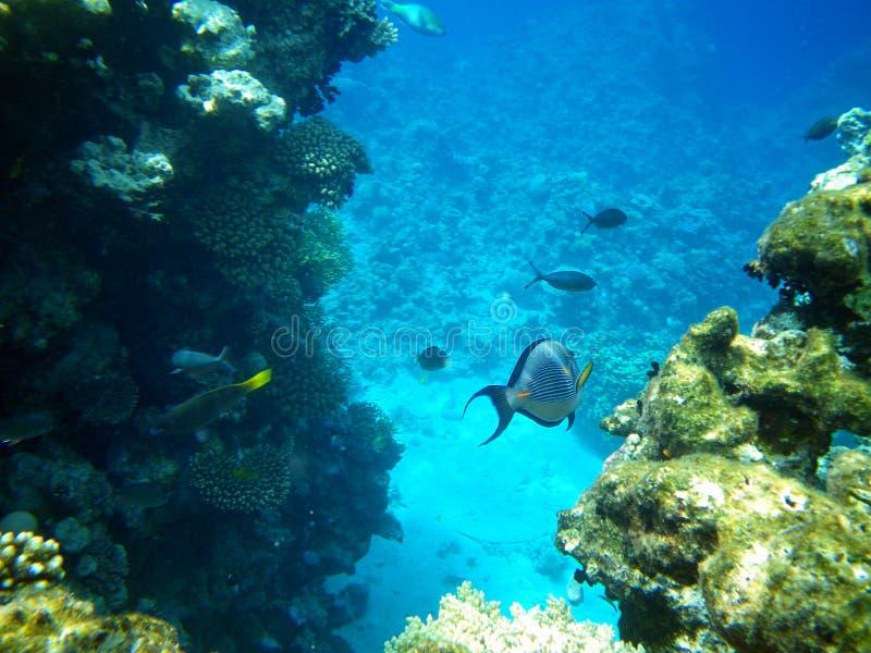 Koralen en Sohal surgeonfish in het rode overzees stock fotografie