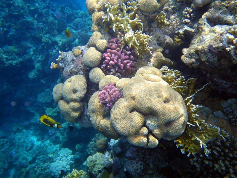 Koralen in het Rode Overzees. stock afbeelding