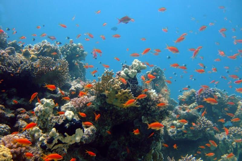 korali ryba czerwony morze obraz stock