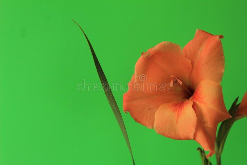 Korall färgade den Gladiola blomningen mot en fast grön bakgrund arkivfoto