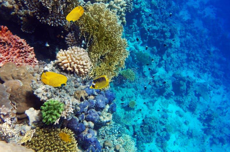 Korall i den röda Sea.Maskeden och den diagonala fjärilen royaltyfri foto