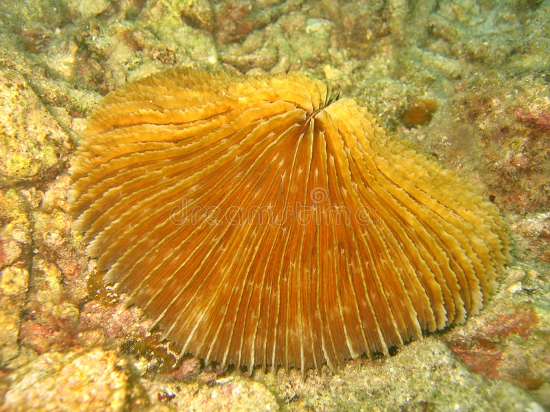 korallchampinjon arkivbild