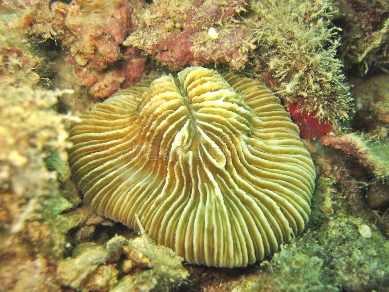korallchampinjon royaltyfri foto