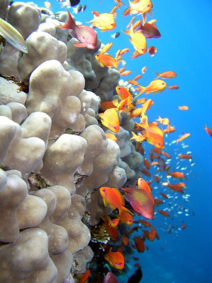 Koralle und Fische lizenzfreies stockfoto