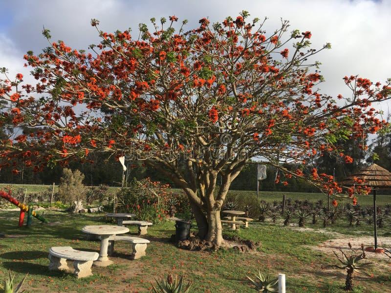 Korallenbaum in Südafrika - Coral Tree in Southafrica. Korallenbaum Erythrina crista-galli in Südafrika - Coral Tree in Southafrica stock photo