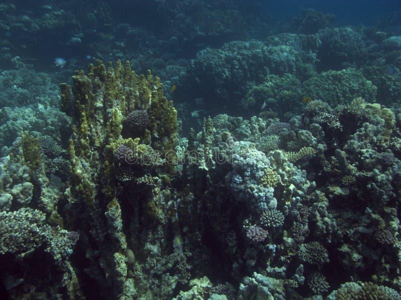 Korallenriff im Roten Meer. stockbilder
