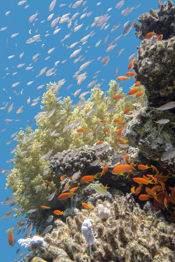 Korallenriff mit Fischen Anthias im tropischen Meer, Unterwasser stockfotografie