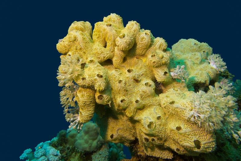 Korallenriff mit großem Yellow- Seaschwamm an der Unterseite von tropischem Meer lizenzfreie stockfotografie