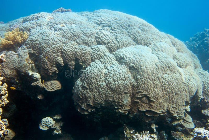 Korallenriff mit großer Gebirgskoralle im tropischen Meer, Unterwasser stockfotografie