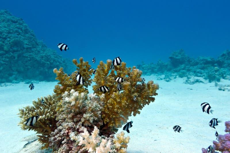 Korallenriff mit harter Koralle und exotische Fische weiß-banden Damselfish an der Unterseite von tropischem Meer an lizenzfreie stockfotografie