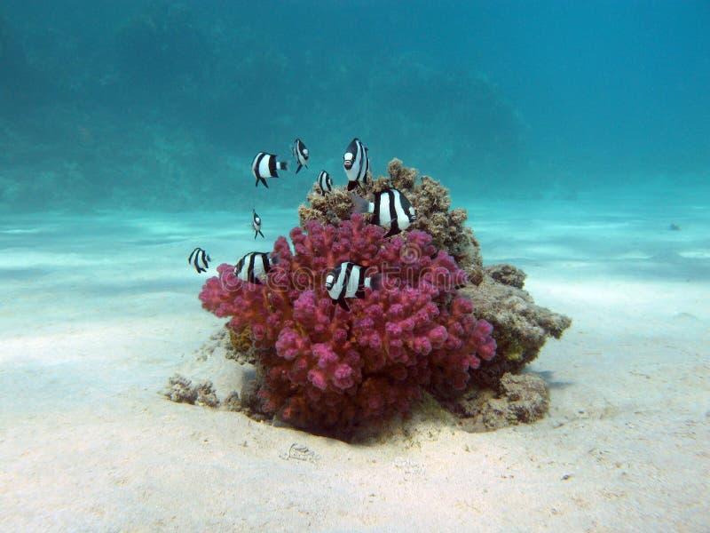 Korallenriff mit harter Koralle und exotische Fische weiß-banden Damselfish im tropischen Meer an stockbilder