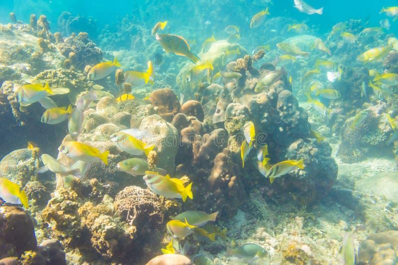 Korallenriff mit Masse von französischen Grunzenfischen und -Steinkorallen lizenzfreie stockfotografie