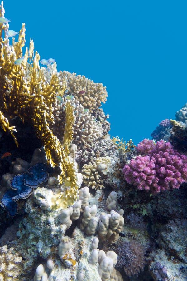 Korallenriff mit violettem Steinkorallen poccillopora an der Unterseite von tropischem Meer auf Hintergrund des blauen Wassers stockbild