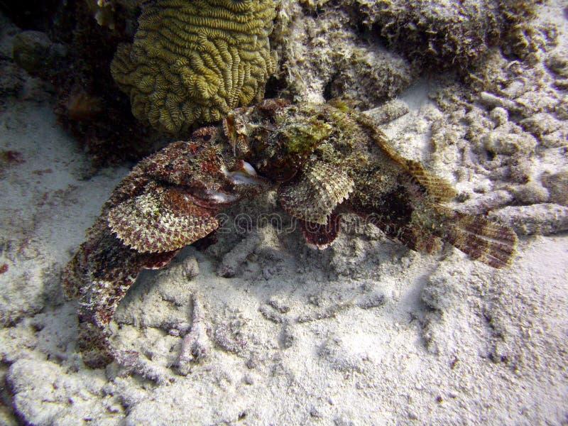 Korallenriff zur Bekämpfung von Skorpion lizenzfreies stockbild