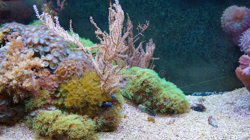 Korallenrifffischschwimmen vor Anemonenkorallen stockfotos