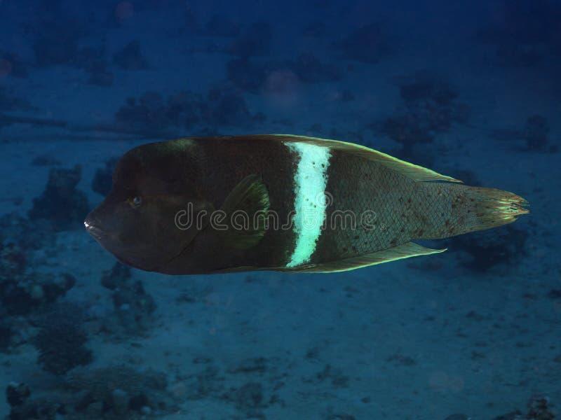 Korallenrote Fische Clown coris lizenzfreie stockbilder