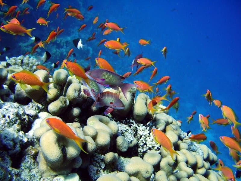 Korallenrote Fische im Meer stockfoto
