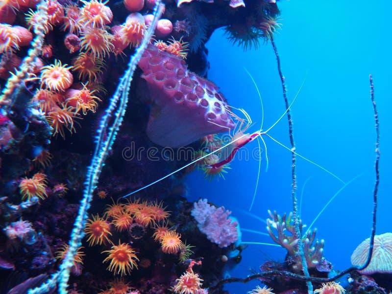 Korallenrote Garnele lizenzfreies stockfoto