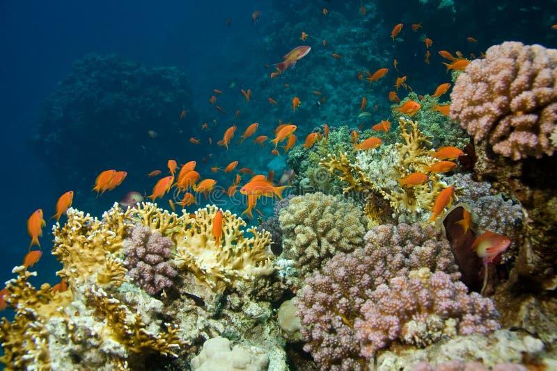 Korallenrote Kolonie stockfotos