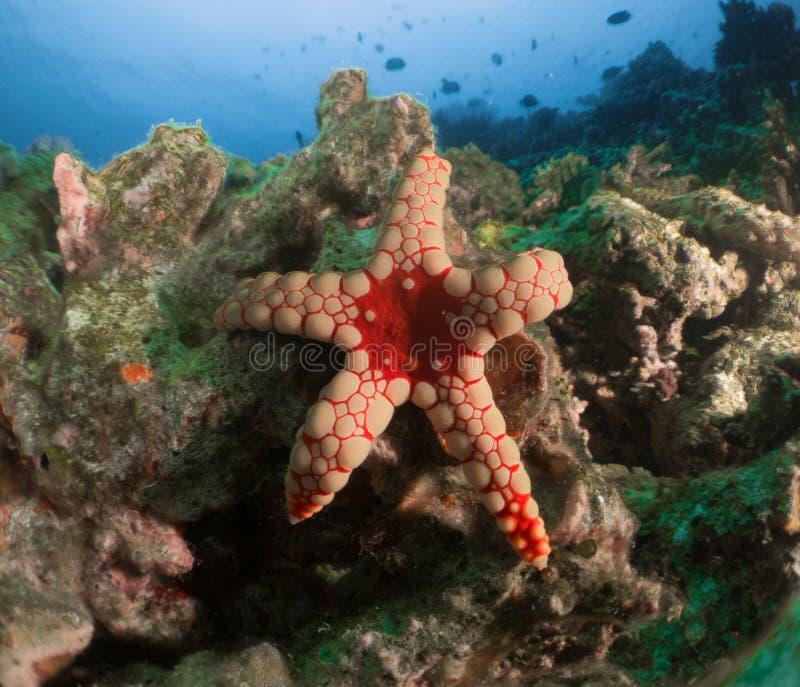 Korallenrote Starfish Malediven stockbild