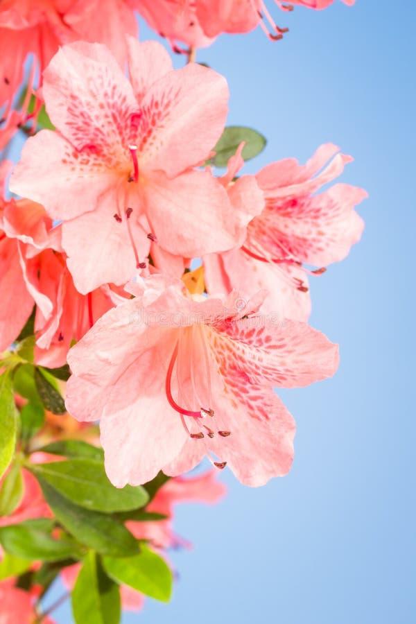 Korallenroter Azaleenblumenabschluß oben lizenzfreies stockfoto
