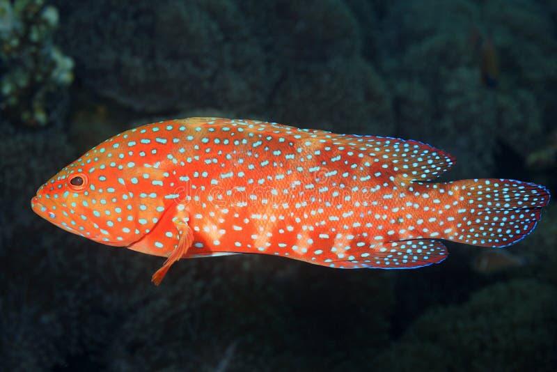 Korallenroter Barsch stockbilder