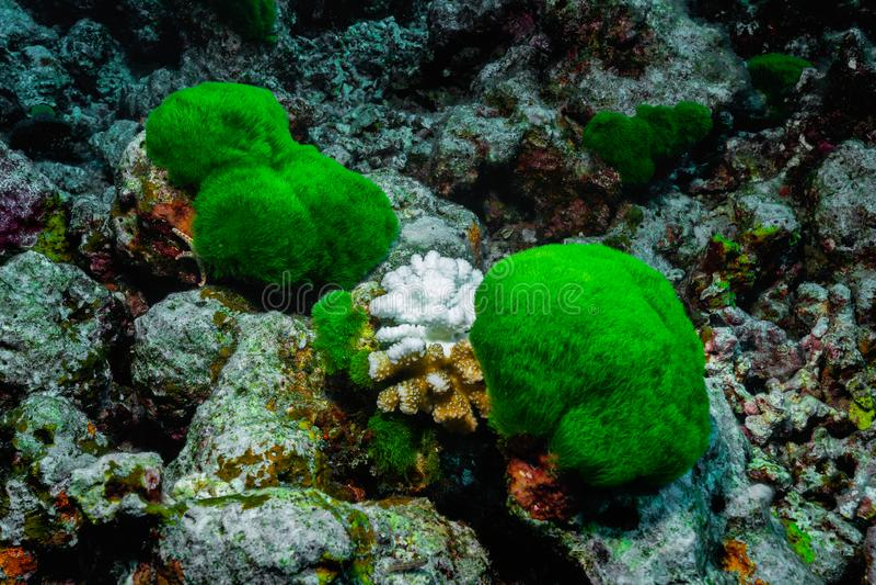 Korallenroter Bleicheffekt auf Acropora ALIAS Staghorn-Koralle stockfotos