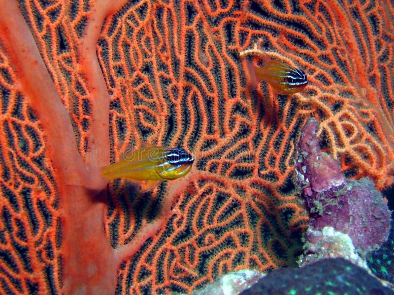 Korallenroter Cardinalfish lizenzfreie stockfotos