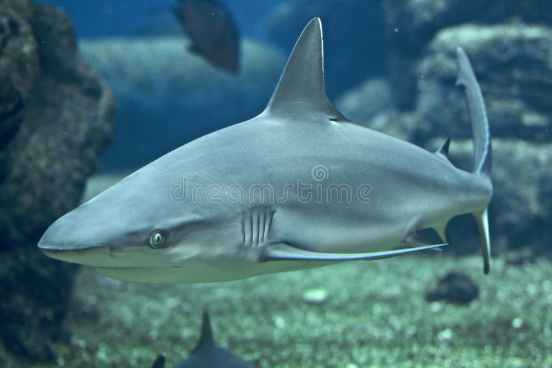 Korallenroter Haifisch lizenzfreies stockfoto