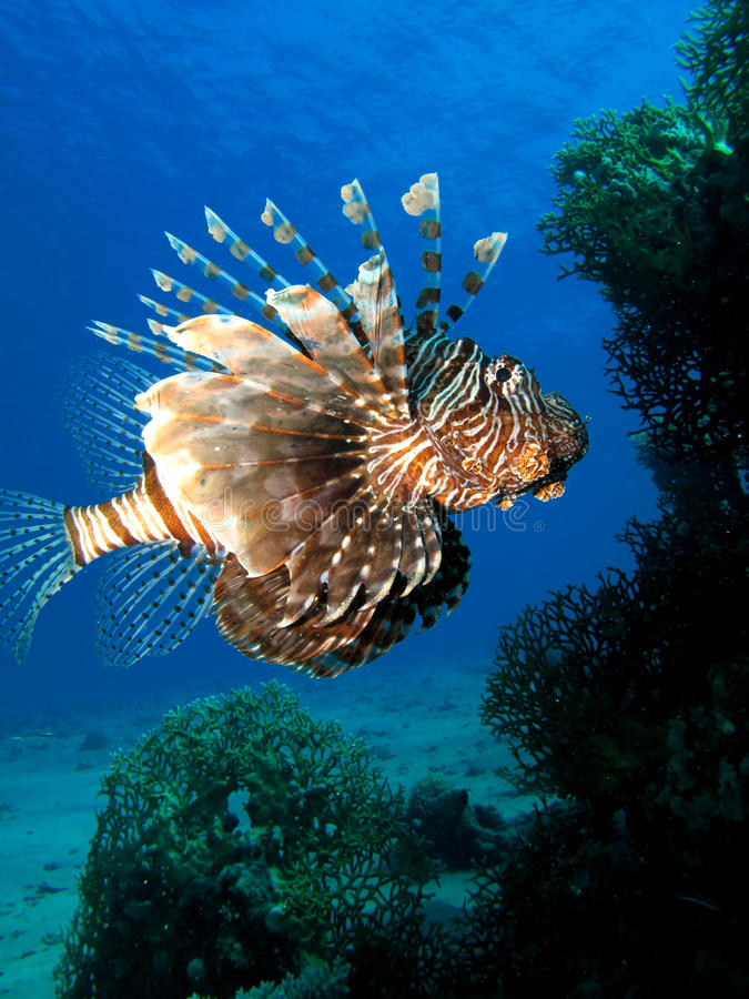 Korallenroter Hinterbarsch lizenzfreie stockbilder
