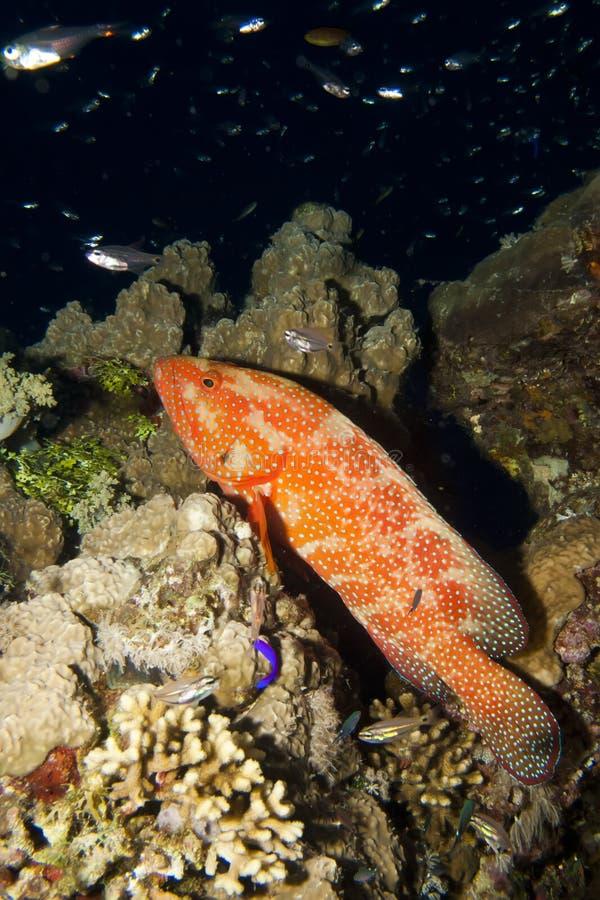 Korallenroter Hinterbarsch (cephalopholis miniata) lizenzfreie stockfotografie