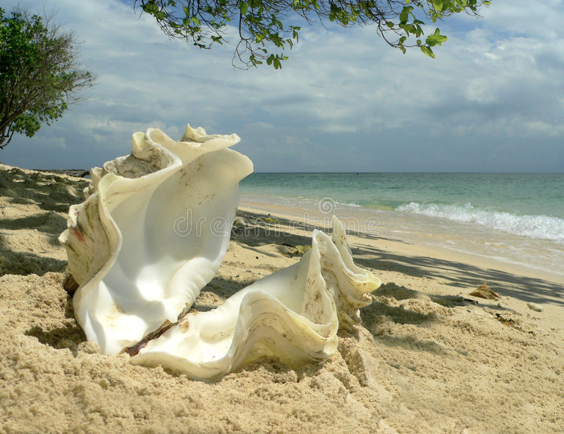Korallenrotes Strand-Austeren-Shell   stockfotos