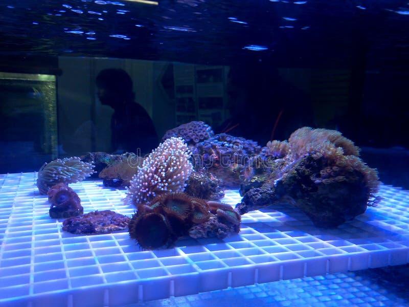 Koraller i akvariet royaltyfri bild
