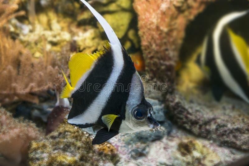 Korallfisk (den Heniochus acuminatusen) arkivbilder
