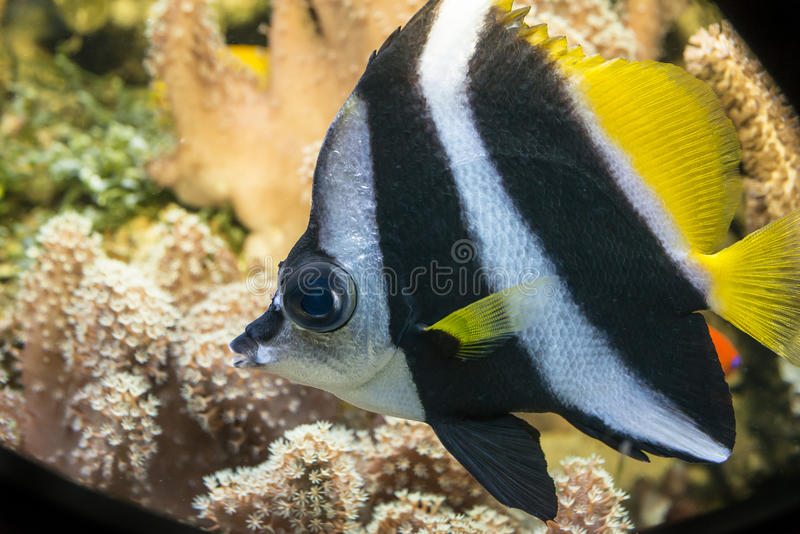 Korallfisk (den Heniochus acuminatusen) royaltyfria foton