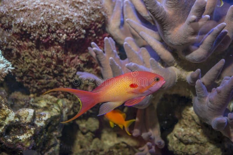 Korallfisk - Pseudanthias squamipinnis royaltyfri bild
