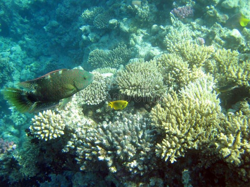 korallfiskrevar royaltyfria foton