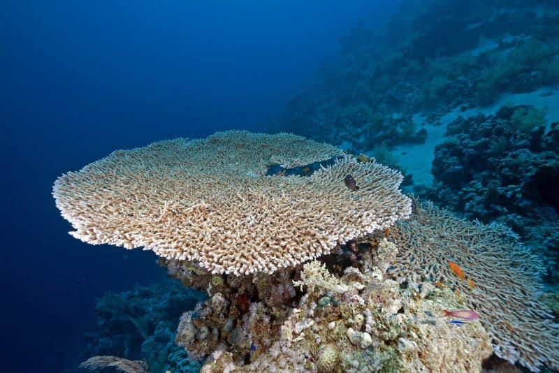 korallhavtabell arkivfoto