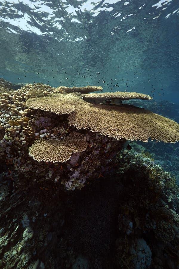 korallhavtabell royaltyfri bild